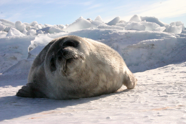 Antarctic Weddell seal looks quizzically into the cameray