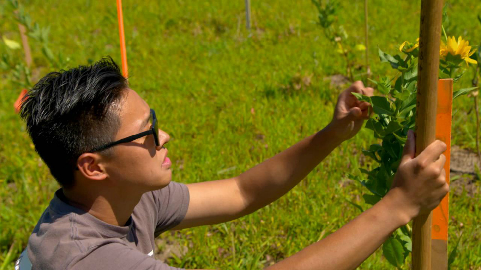 Researcher at the University of Minnesota's Forever Green Initiative working in the field on a new crop.