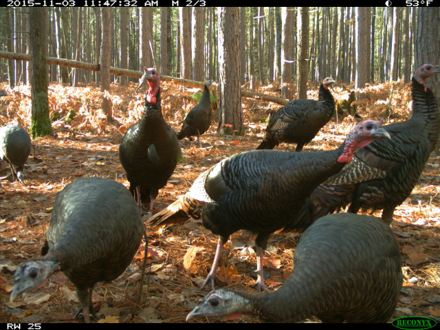 University of Michigan and ZoomIN capture an image of wild turkeys