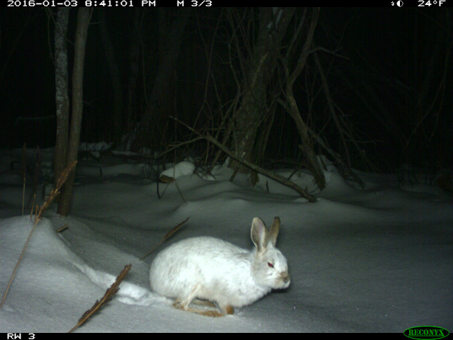 A white rabbit capture by a University of Michigan wildlife camera.