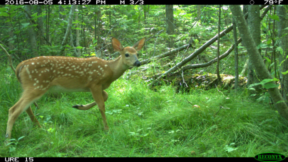 White-tailed deer spotted by the University of Michigan camera traps at the UM Biological Station.