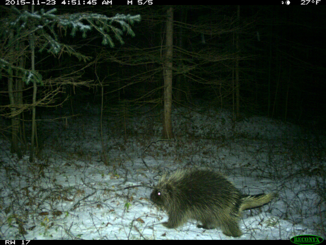 Porcupine walking through the snow
