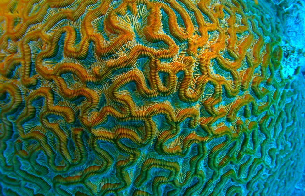 A picture of brain coral which University of Michigan researchers think may hold the key to combating HIV