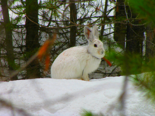 Many animals depend on a strong snow-pack for winter survival.