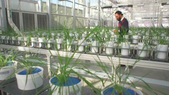 Dr. Harkamal Walia in the University of Nebraska's Phenotyping Greenhouse.