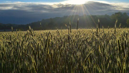 The sun shining on a wheat field.