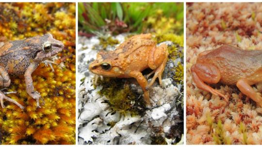 Pictures of the three new rubber frogs discovered in the Peruvian Andes by University of Michigan ecologist Rudolf von May