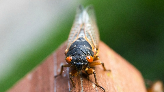 A cicada sits on a piece of wood