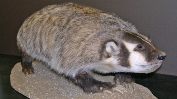 A badger specimen at the University of Wisconsin-Madison Zoological Museum