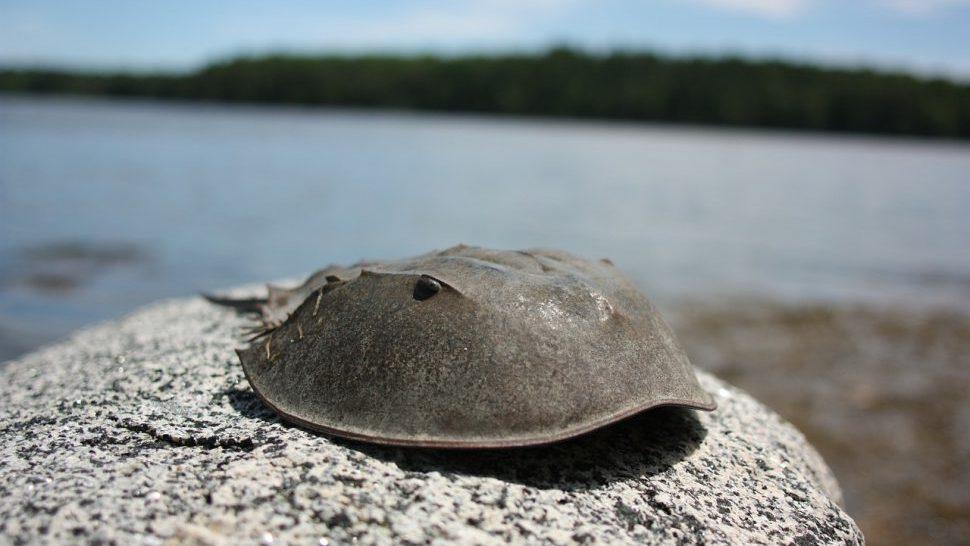 A horseshoe crab on a rock
