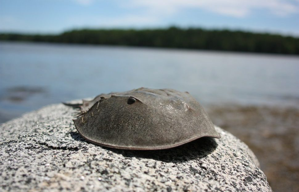 A horseshoe crab on a rock
