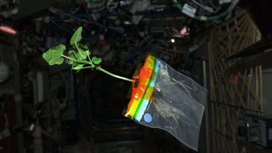 A zucchini growing in space on the international space station.