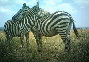 two zebras in Africa