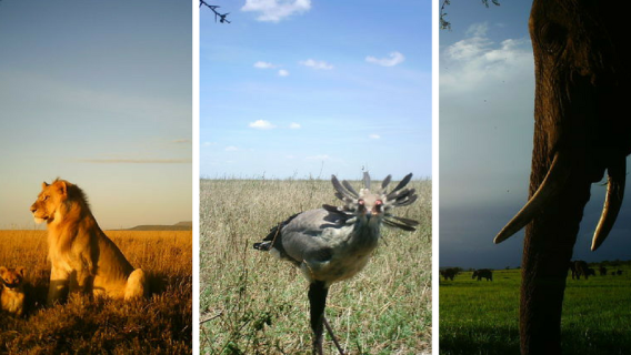 African animals captured on camera by the University of Minnesota Lion Center's SnapshotSafari project