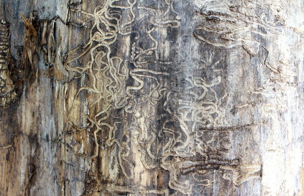 Termite marks on a piece of wood.