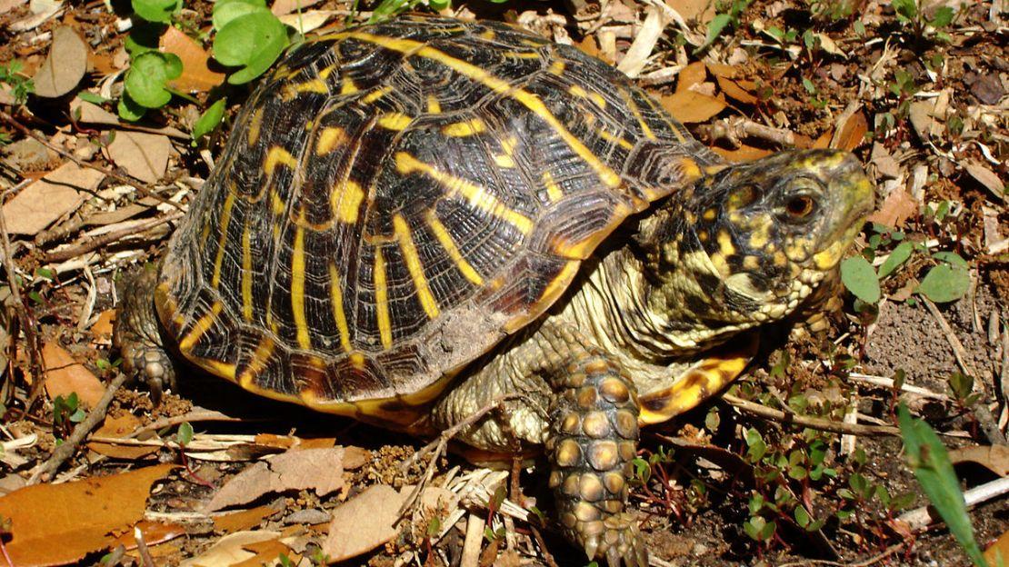 An Ornate Box Turtle in situ.