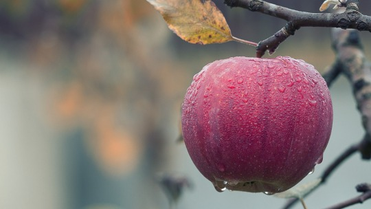 A dewy apple hanging on a tree