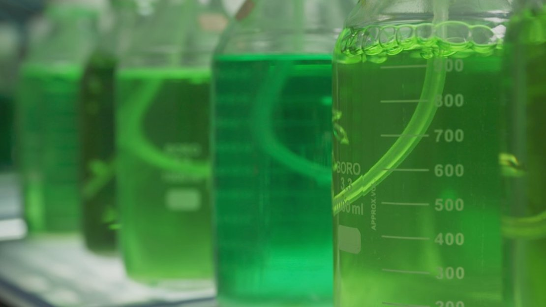 Beakers of algae liquids that University of Michigan researchers are using to great an algal biofuel