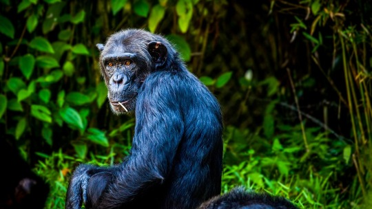 A chimpanzee munching on a stick and looking at the camera