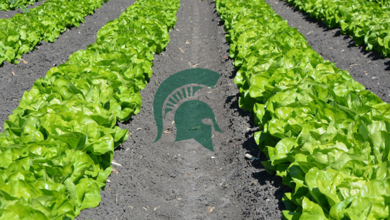The Michigan State University spartan logo in a field of lettuce