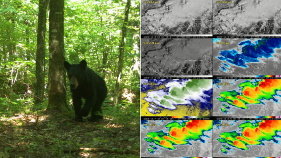 On the left a bear captured during the University of Michigan's statewide carnivore census, and on the right images from University of Wisconsin weather satellites.