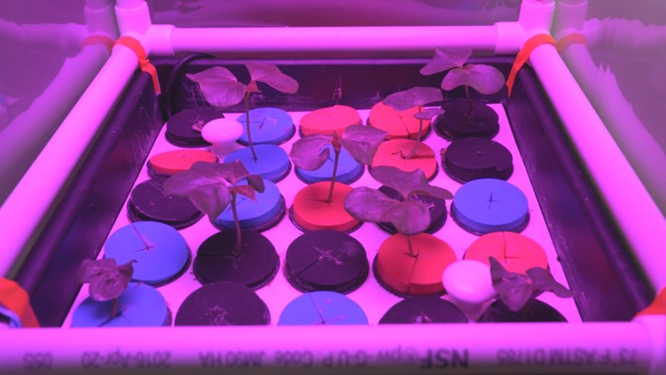 Experimental plant growth from the University of Wisconsin's Gilroy Astrobotany Lab