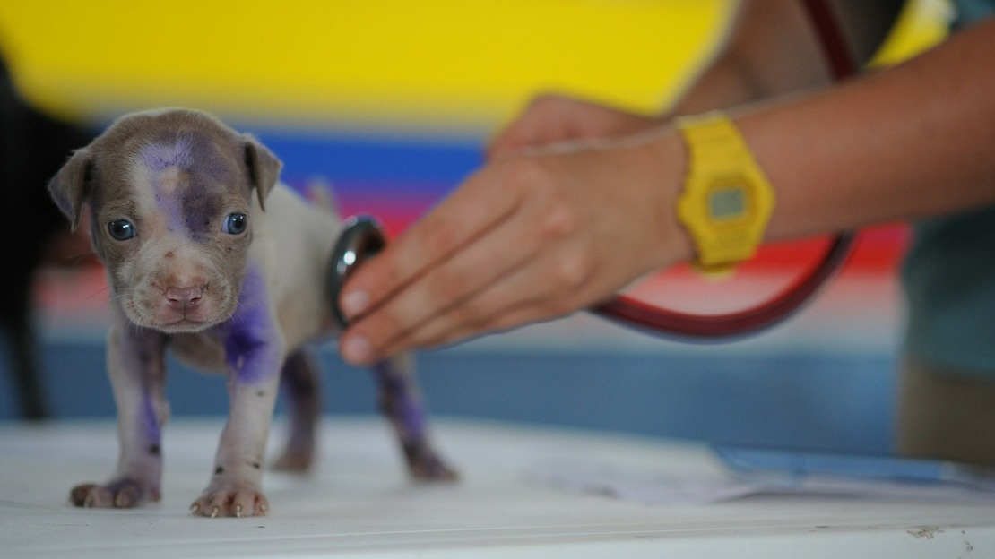 A veterinarian checking out a puppy